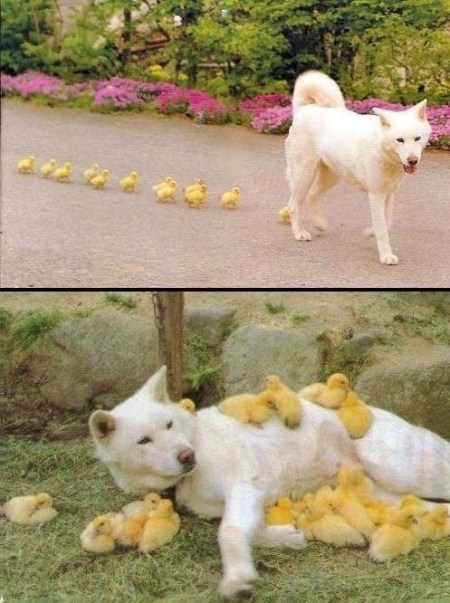 dog and ducks
