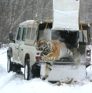 tiger jumping out of truck