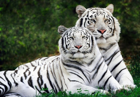 White_tigers