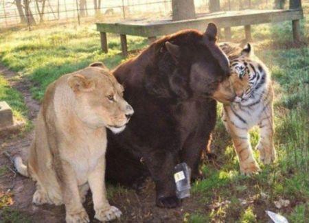 lion tiger bear