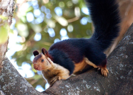squirrel Indian giant squirrel 2
