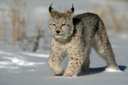 Siberian lynxLynx lynx