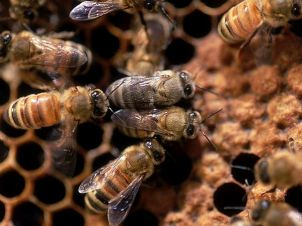 honey-bee_6532_600x450