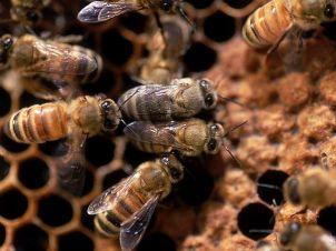 honey-bee_6532_600x450