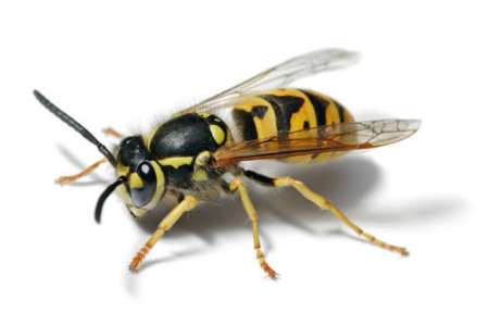 Wasp-or-hornet