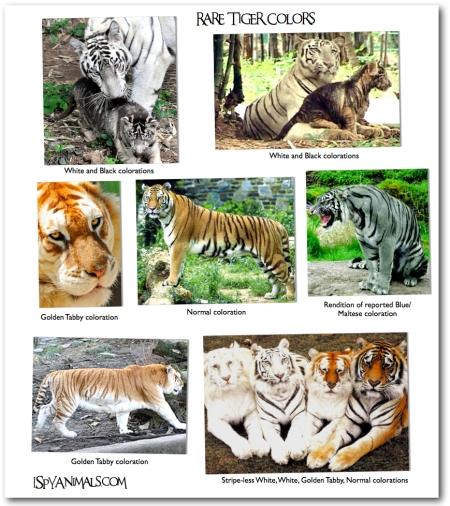 rare-tigers