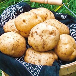 potatoes german butterball