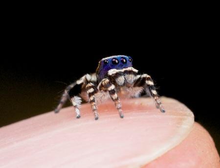 sspiderpersonatus-fingernail
