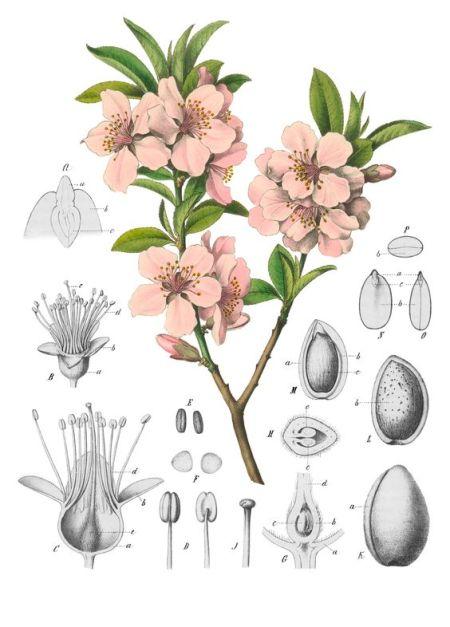 almond floweer