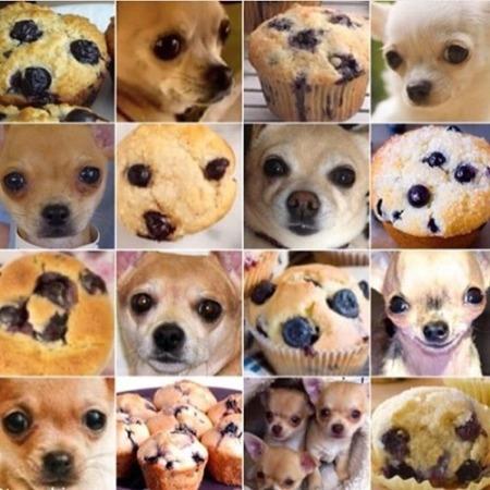 chihuahua muffin