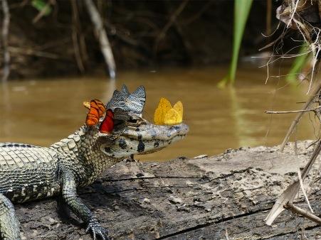 butterfly-croc