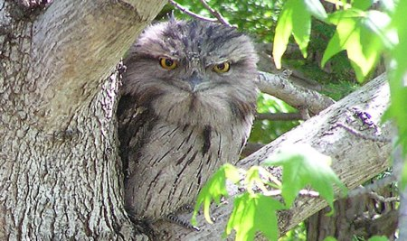 frogmouth1