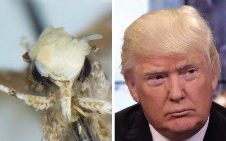 trump-moth